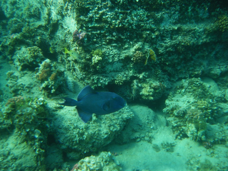 DSCF1822_Blue_TriggerFish.jpg